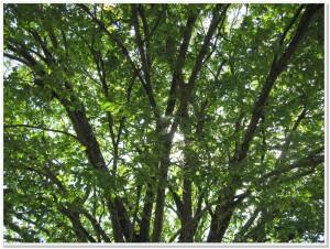 Lush WHBC Trees