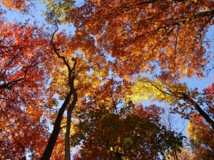 Golden Canopy Ablaze in the BlueRidge Mountains